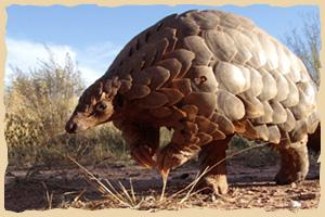 Pangolin bei REST (Rare and Endangered Species Trust)